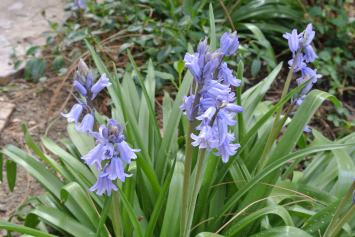 The bluebells..new to me