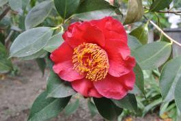 Camellia is SO BIG