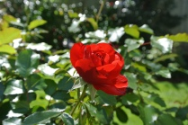 Lovely red rose