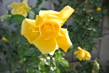 Fantabulous Yellow Tree Rose