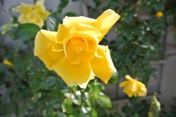 Fantabulous Yellow Tree Rose