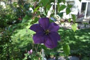 Our Clematis vine