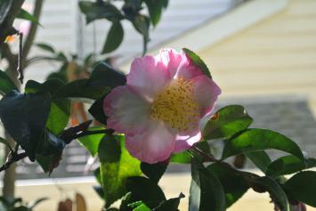 Camellia??