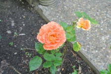 This rose is a new one