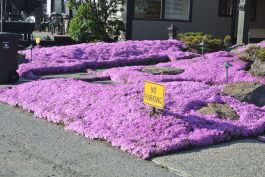 Spectacular Ice Plant groundcover