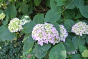 Hydrangea is blooming!!