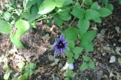 Clematis starting to bloom
