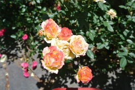 A rose bouquet on the vine