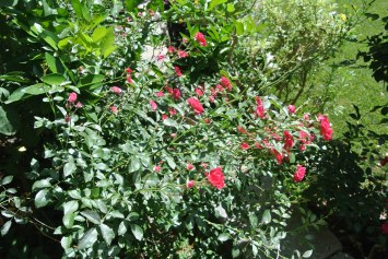 Baby rose shrub