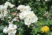 White roses make a bouquet
