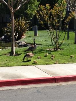 First look at goslings...7!
