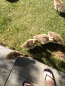 Mom Linda's toesies and the goslings