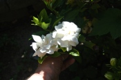 Gardenias smell pawerfully good!