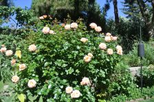 Garden roses are bloomin'