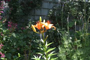 Some kind of lily