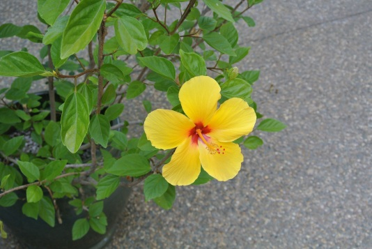 The first Hibiscus