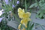 Yellow Gladiola