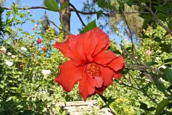 Red Hibiscus..pawsome!1