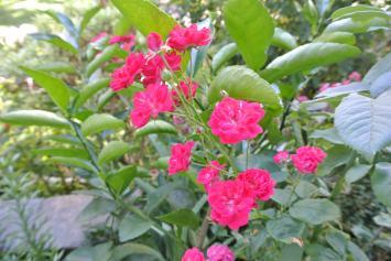 Pretty delicate pink mini roses
