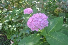 Hydrangea still blooming!