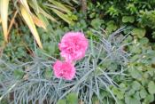 And Pink Carnations!!