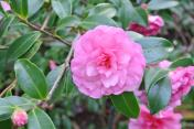 Another Camellia