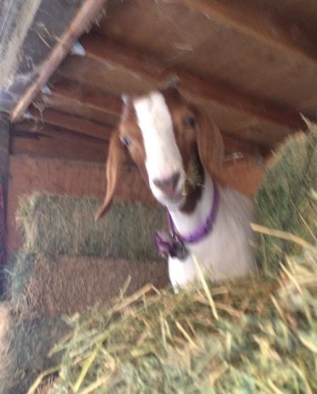Tina, Goat Friend