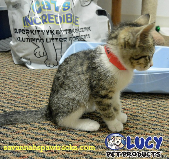 Lucy Pet Products Breakthrough Cat Litter #sponsored